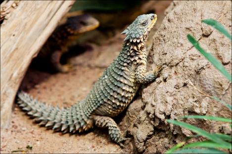 Giant Girdled Lizard